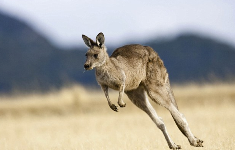 Western Grey Kangaroos are common in the area. Photo: Getty