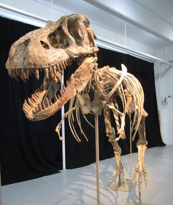 This nearly complete <em>Tyrannosaurus bataar</em> is set to go on auction. It is one of many rare natural history specimens Heritage Auctions plans to sell on May 20. An Asian relative of the North American <em>Tyrannosaurus rex</em>, this spe