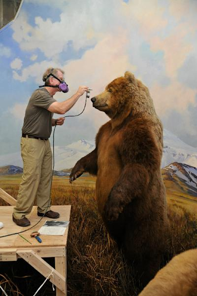 More than half a century later, museum artist Stephen C. Quinn applies dye to the Alaska brown bear in Hall of North American Mammals.