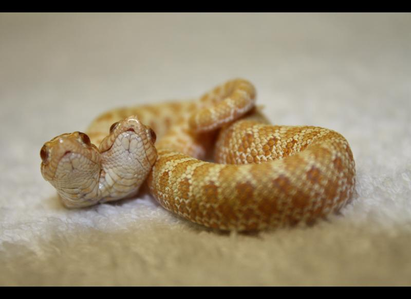 Ray says Lenny and Squiggy, a two-headed Albino Hognose snake, is considered by most to be the rarest snake on Earth.