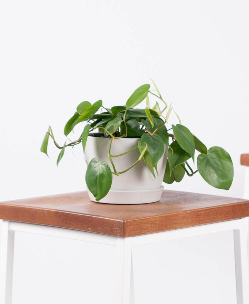 "<p>This <a href=""https://www.popsugar.com/buy/Potted-Philodendron-Heartleaf-Indoor-Houseplant-568587?p_name=Potted%20Philodendron%20Heartleaf%20Indoor%20Houseplant&retailer=bloomscape.com&pid=568587&price=35&evar1=casa%3Aus&evar9=47423087&evar98=https%3A%2F%2Fwww.popsugar.com%2Fphoto-gallery%2F47423087%2Fimage%2F47423330%2FPotted-Philodendron-Heartleaf-Indoor-Houseplant&list1=shopping%2Chouse%20plants%2Cplants%2Chome%20decorating%2Cdecor%20shopping%2Cbloomscape&prop13=api&pdata=1"" class=""link rapid-noclick-resp"" rel=""nofollow noopener"" target=""_blank"" data-ylk=""slk:Potted Philodendron Heartleaf Indoor Houseplant"">Potted Philodendron Heartleaf Indoor Houseplant </a> ($35) is great for beginners.</p>"
