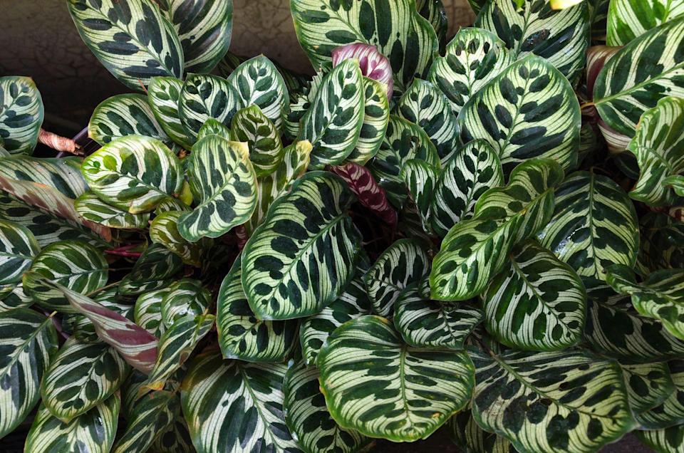 "<p>The colourful waxy leaves on this plant are beautiful and really make a statement in the bathroom. Start them off on a shelf but they will need to be moved to the floor or a plant stand as they grow and get bigger. </p><p><a class=""link rapid-noclick-resp"" href=""https://go.redirectingat.com?id=127X1599956&url=https%3A%2F%2Fwww.crocus.co.uk%2Fplants%2F_%2Fgoeppertia-veitchiana-medaillon%2Fclassid.2000027727%2F&sref=https%3A%2F%2Fwww.countryliving.com%2Fuk%2Fhomes-interiors%2Finteriors%2Fg33454786%2Fbathroom-plants%2F"" rel=""nofollow noopener"" target=""_blank"" data-ylk=""slk:BUY NOW"">BUY NOW</a></p>"