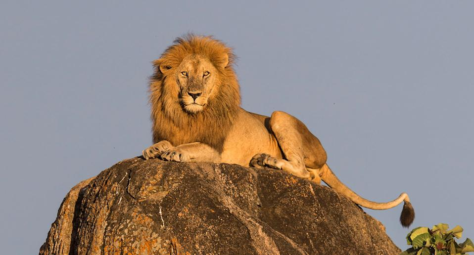 A lion in Kidepo Valley National Park in Uganda. (Photo: Will Burrard-Lucas/Caters News)