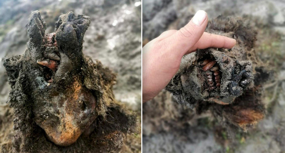 Two close up photos of the cave bear's head, showing the in-tact nose and the bear's teeth.