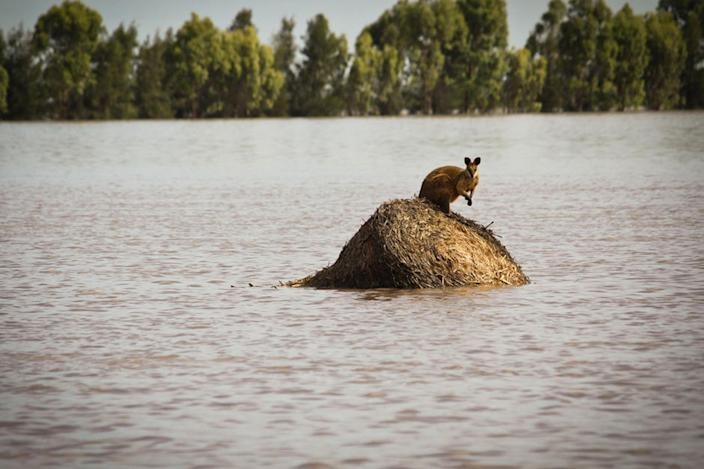 FILE -In this Dec. 30, 2010 file photo a wallaby stands on a large round hay bail trapped by rising flood waters outside the town of Dalby in Queensland, Australia. U.N. climate experts say global warming accelerated since the 1970s, breaking more countries' temperature records than ever before. The World Meteorological Organization's analysis Wednesday, July 3, 2013 calls the first decade of the new millennium an unprecedented era of climate extremes ranging from heat waves in Europe and Russia, to droughts in the Amazon Basin, Australia and East Africa, to huge storms like Tropical Cyclone Nargis and Hurricane Katrina. (AP Photo/Anthony Skerman, File)
