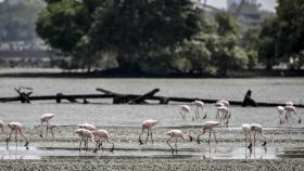 MTHL: Flamingos don't desert Sewri mud-flats