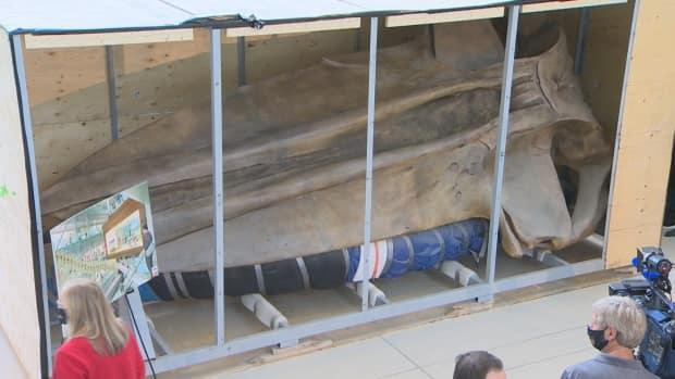 The 18-foot skull of a blue whale was unboxed in a ceremony held Tuesday at MUN'S core science building. (Mike Simms/CBC - image credit)