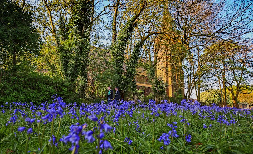 Bluebells in bloom in a field in Gateacre, Liverpool (Picture: PA)