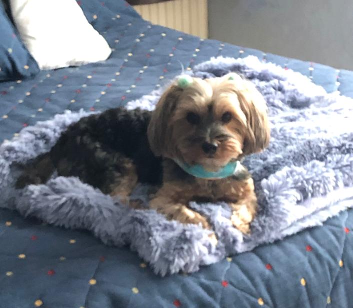 Allie the Yorkie, on what is clearly a very large dog bed.
