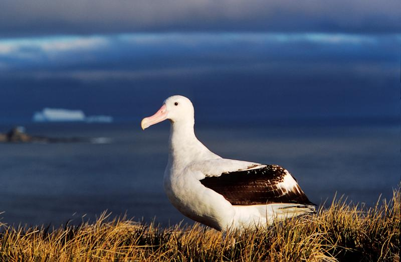 Wandering Albatross (diomendea Exulans) Portrait. Island of South Georgia. (Photo by: Martin Zwick/REDA&CO/Universal Images Group via Getty Images)
