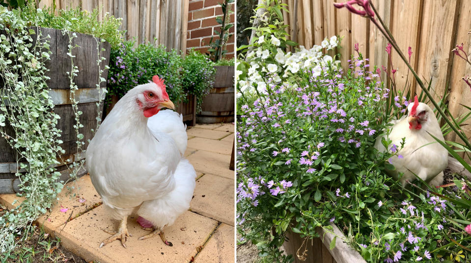 Photo of the author's chicken sitting in a flowerbed