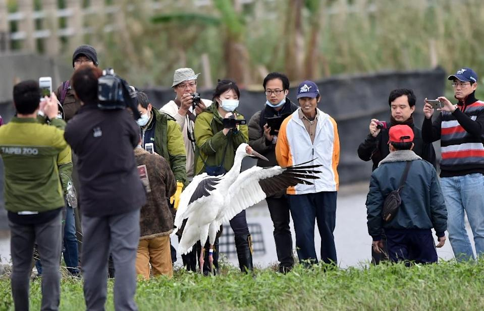 The Siberian white crane that landed in Taiwan after getting lost on migration over a year ago made headlines (AFP Photo/Sam Yeh)