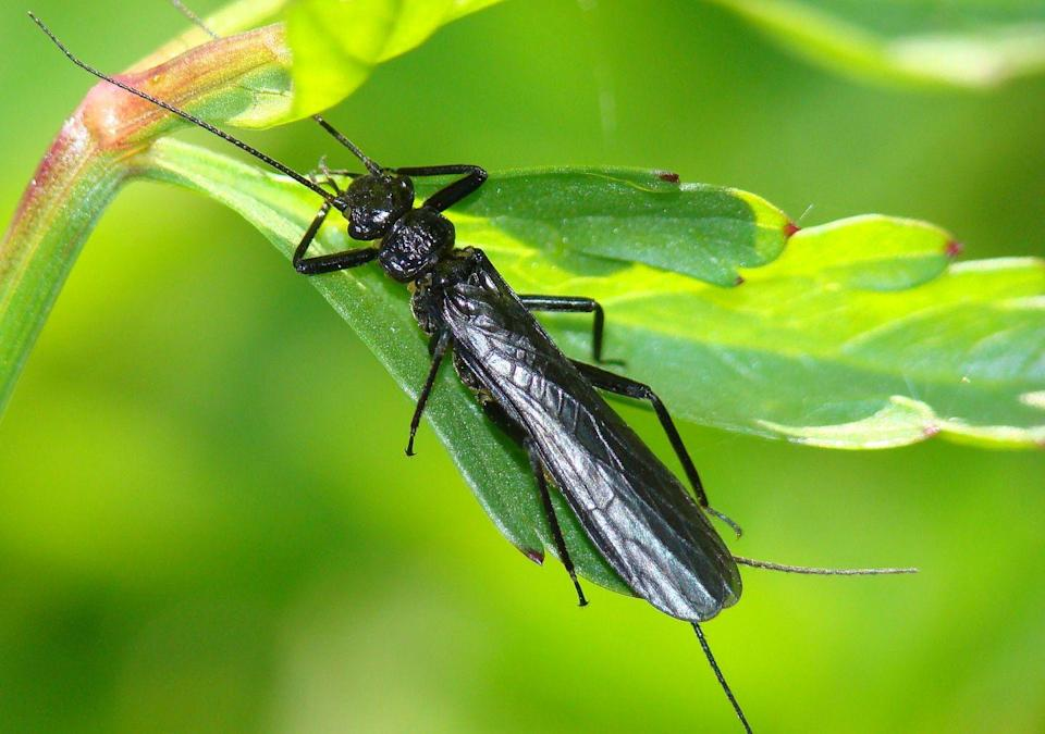 """<p><strong>Stonefly<br></strong><strong><br></strong>Delaware's official state insect is the 7-spotted ladybug, its state butterfly is the Eastern tiger swallowtail, <em>and</em> they also have a <a href=""""https://delaware.gov/facts/insect"""" rel=""""nofollow noopener"""" target=""""_blank"""" data-ylk=""""slk:state macro invertebrate"""" class=""""link rapid-noclick-resp"""">state macro invertebrate</a> (way to be super specific, Delaware), the stonefly. </p>"""