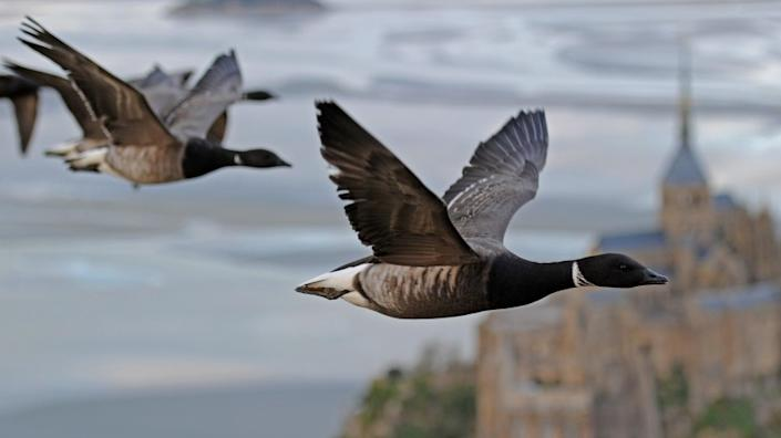 """Brent geese fly over Mont-Saint-Michelle in """"Earthflight"""" on BBC America. <span class=""""copyright"""">(Richard Cook/BBC America)</span>"""
