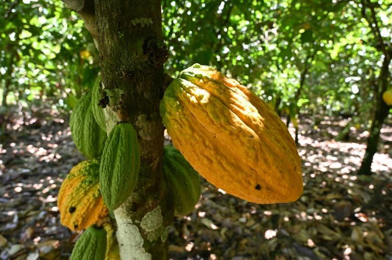 Pod cast: Ivory Coast is the biggest producer of cacao, the raw ingredient for cocoa. But many farmers are impoverished -- beekeeping helps them to top up their income