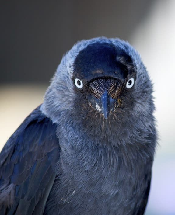 Birds Give Evil Eye to Ward Off Intruders