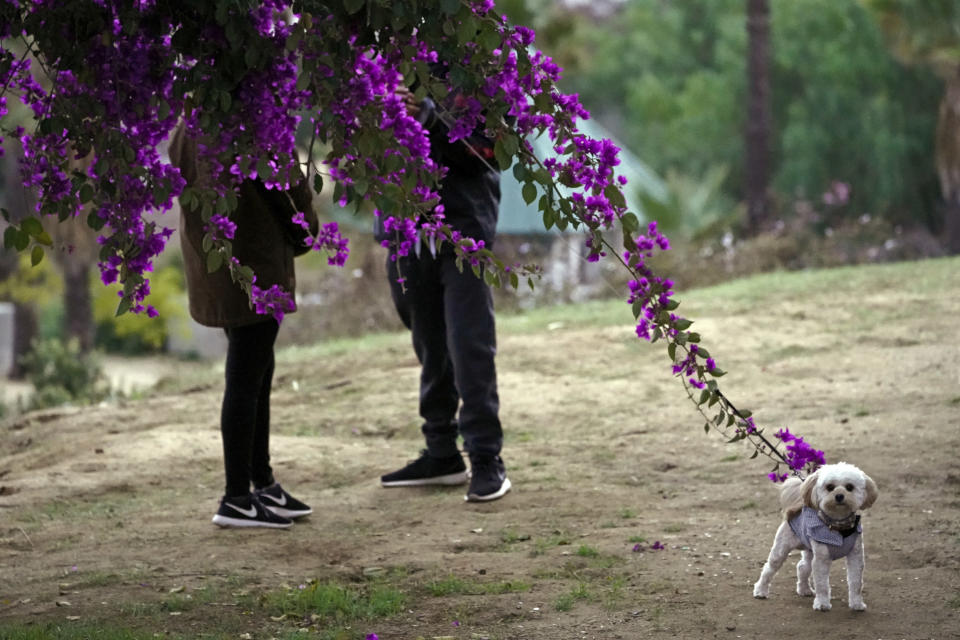 """FILE - A couple walks their dog in Los Angeles, on Jan. 24, 2021. In the eyes of the law, pets are property when it comes to divorce. But new ways of working out custody of the dog, cat or parrot have sprung up in recent years. There are special mediators and a push for """"petnups"""" to avoid courtroom disputes. (AP Photo/Damian Dovarganes, File)"""