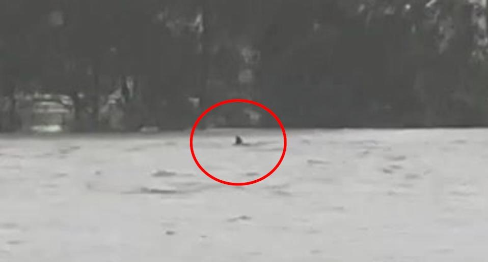 Pictured is a fin-shaped object poking out of water at Narrabeen lagoon. Source: Instagram