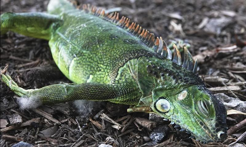 A stunned iguana after falling from a tree in Florida this week