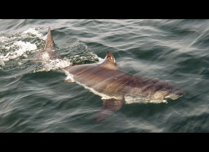 This Saturday, June 26, 2010 photo released by Bruce Sweet shows a juvenile great white shark swimming in the Atlantic Ocean about 20 miles off the coast of Gloucester, Mass., in the rich fishing ground known as Stellwagen Bank. The shark was pulled up by Gloucester-based Sweet Dream III, tagged, and returned to the sea. (AP Photo/www.SportFishingMA.com, Bruce Sweet)
