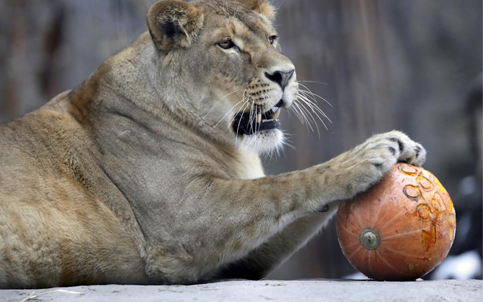 A lioness with a pumpkin during Halloween celebrations at the Novosibirsk Zoo, Russia - Kirill Kukhmar / TASS