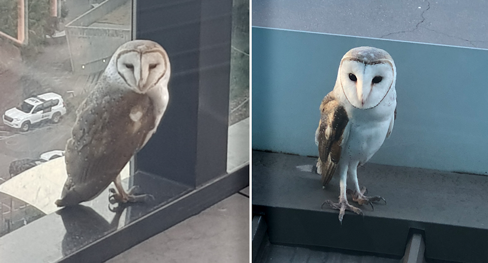 Two pictures of owls on window ledges.