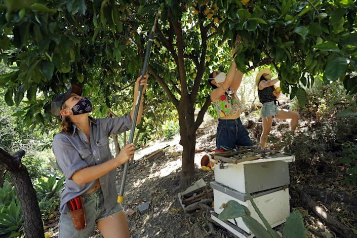 """Fruit-Share organizers Alison Veit, from left, Julia Sherman and Joanna Golvinsky pick grapefruit from Golvinsky's yard to share. <span class=""""copyright"""">(Myung J. Chun / Los Angeles Times)</span>"""