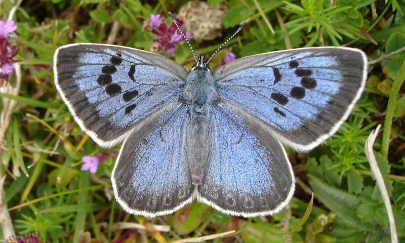 The large blue butterfly can fetch up to £300 if it is mounted and made to look like a Victorian specimen.