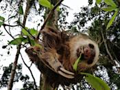 """<p>These cuties spend most of their time snacking on leaves and fruit, living that vegetarian lifestyle. But every so often <a href=""""https://nationalzoo.si.edu/animals/news/why-are-sloths-so-slow-and-other-sloth-facts"""" rel=""""nofollow noopener"""" target=""""_blank"""" data-ylk=""""slk:they might also snag protein from a larval insect or bird egg,"""" class=""""link rapid-noclick-resp"""">they might also snag protein from a larval insect or bird egg,</a> according to the Smithsonian's National Zoo.</p>"""
