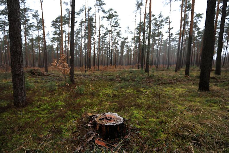 A pine tree stump sits on the forest floor in a forest near the site of the Tesla Inc. Gigafactory in Gruenheide, Germany, on Sunday, Feb. 23, 2020. Tesla Inc. has overcome a legal roadblock standing in the way of Elon Musk's plan to build an electric-car factory in Germany. Photographer: Krisztian Bocsi/Bloomberg