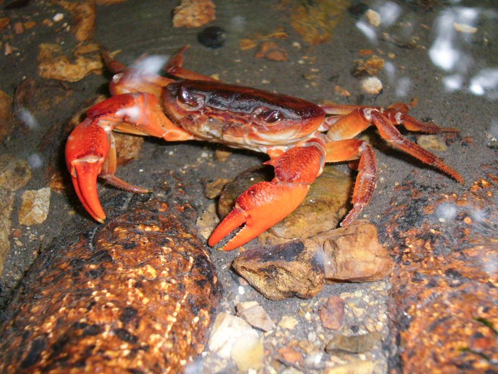 Large Insulamon males—such as this I. johannchristiani, another of the newfound species—sport a reddish color, possibly to signal their power. Smaller, less dominant Insulamon males and females are purple. (Photograph courtesy Hendrik Freitag) See more photos at National Geographic.com