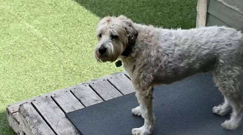 Dogs sweat in the summer, too, but will a haircut cool them off?