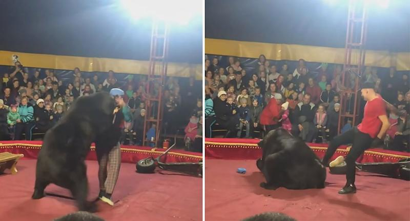 The bear turned on its trainer during a performance in Olonets, Russia (Picture: Australscope)