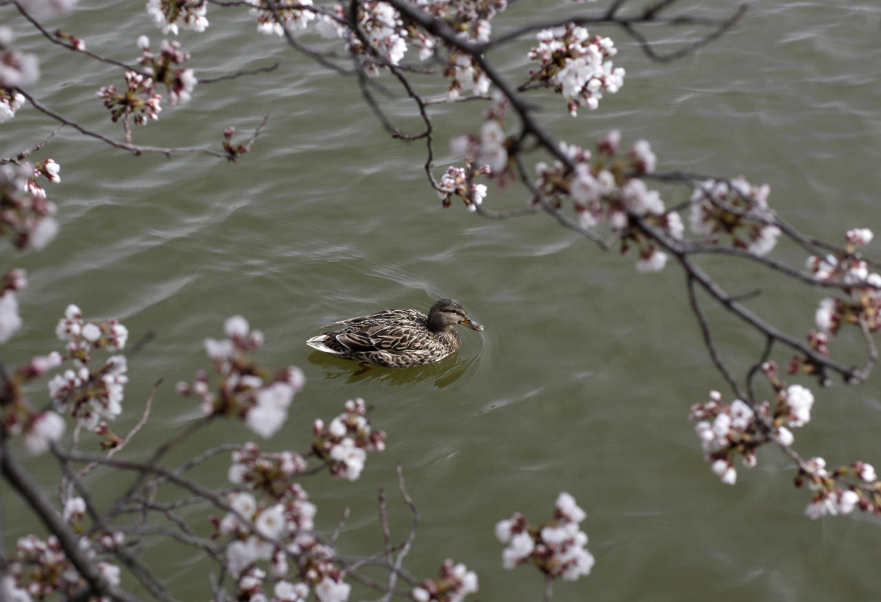 A female wood duck glides on the Tidal Basin in Washington, Monday, March 28, 2011, under cherry tree branches covered in blossoms. The National Cherry Blossom Festival runs through April 10.  (AP Photo/Carolyn Kaster)
