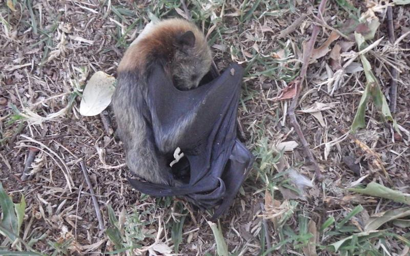 A dead young flying fox in Glebe Park, Bega, Australia, as wildlife are threatened by the drought and fire crisis - Hugh Pitty via REUTERS