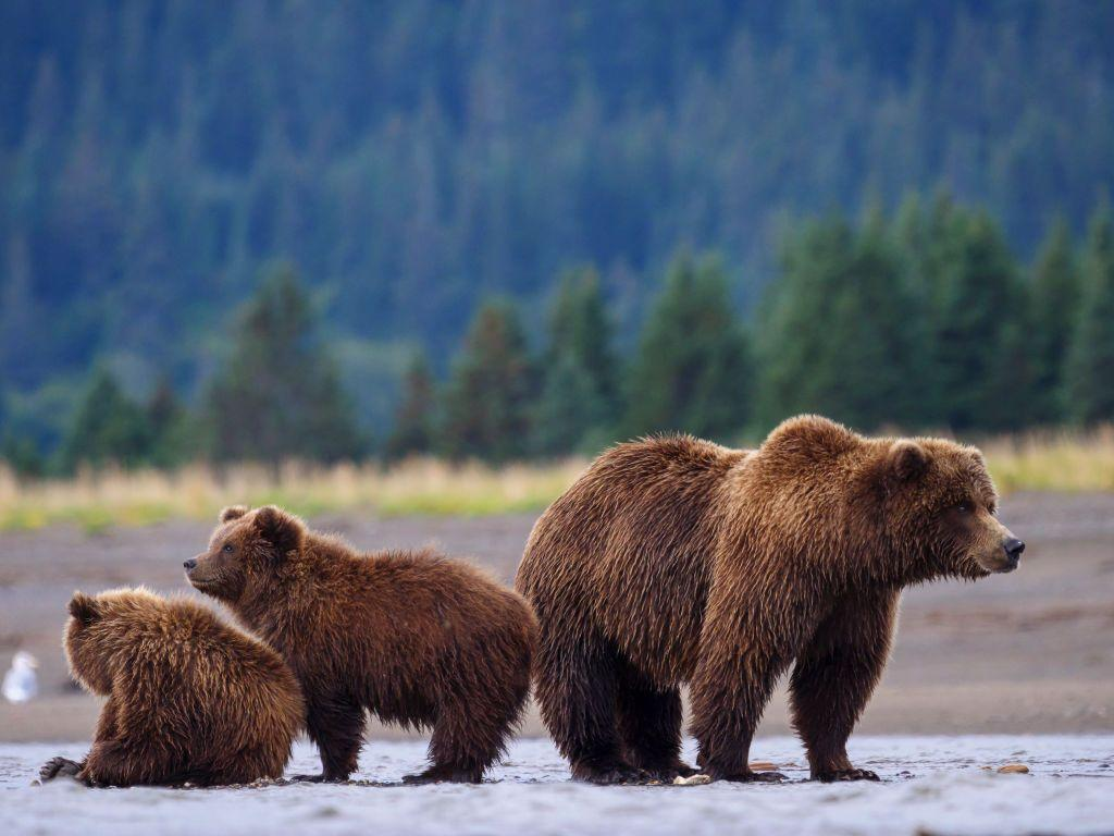 """<p>Although current grizzly bear (<em>Ursus arctos</em> <em>horribilis</em>)<em></em> populations are stable, that wasn't always the case. The grizzly, a subspecies of the brown bear, can grow up to eight feet tall and can weigh a whopping 800-pounds.</p><p>The massive mammal made the threatened species list in 1975 largely due to development. According to <a href=""""https://www.nationalgeographic.com/animals/mammals/g/grizzly-bear/"""" target=""""_blank""""><em>National Geographic</em></a>, grizzlies once roamed """"western North America"""" but saw their numbers decline, in part, to """"European settlement.""""</p><p>Today, grizzly populations are stable and listed as """"least concern.""""</p>"""