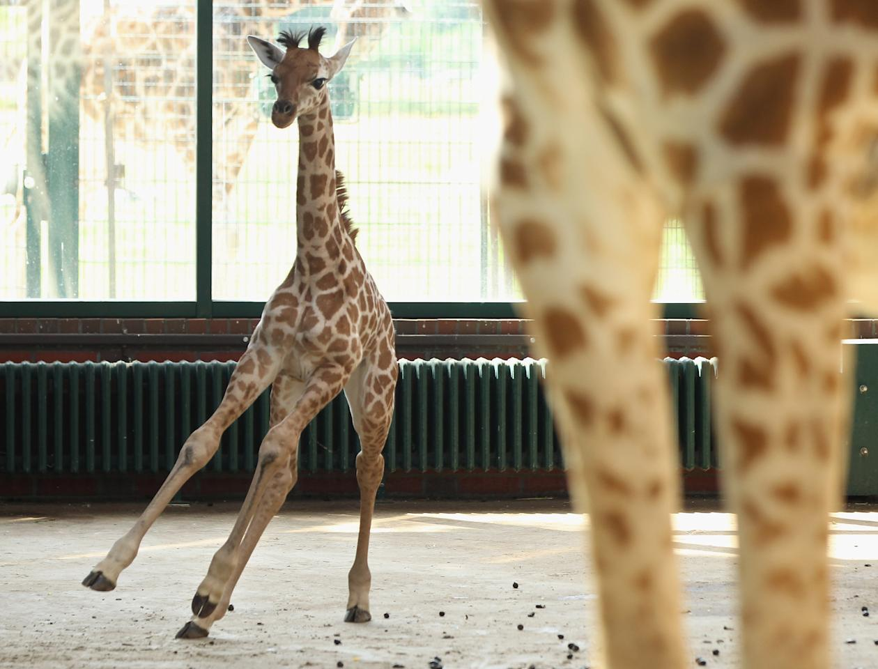 BERLIN, GERMANY - JUNE 29:  Jule, a baby Rothschild giraffe, runs in her enclosure at Tierpark Berlin zoo on June 29, 2012 in Berlin, Germany. Jule was born at the zoo on June 10.  (Photo by Sean Gallup/Getty Images)