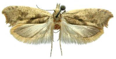 One of the new moth species, Ypsolopha straminella.