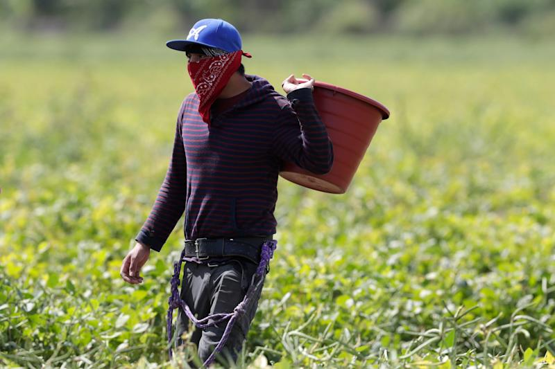 A farmworker, considered an essential worker under the current COVID-19 pandemic, harvests beans in Homestead, Florida, in May 2020.