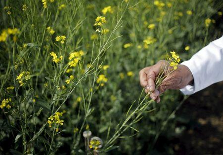 File photo of an Indian scientist holding a GM rapeseed crop under trial in New Delhi