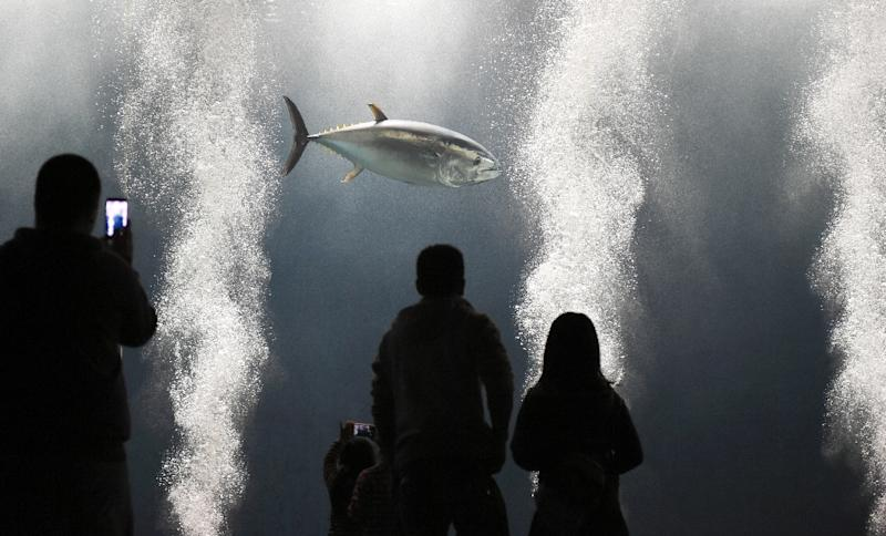 Visitors watch a lone tuna fish swimming in a large tank at the Tokyo Sea Life Park, on March 25, 2015