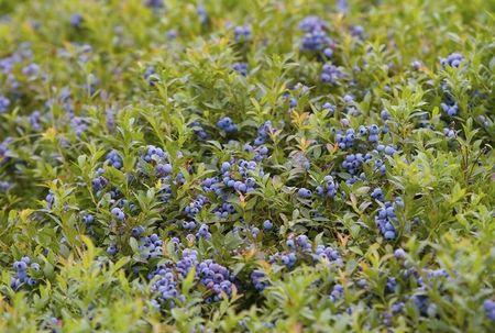 Maine low-bush blueberries are shown in a field in Deblois