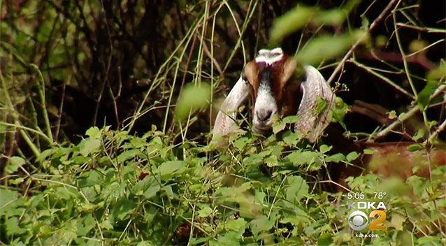 The goats are clearing vegetation in the area. Source: KDKA