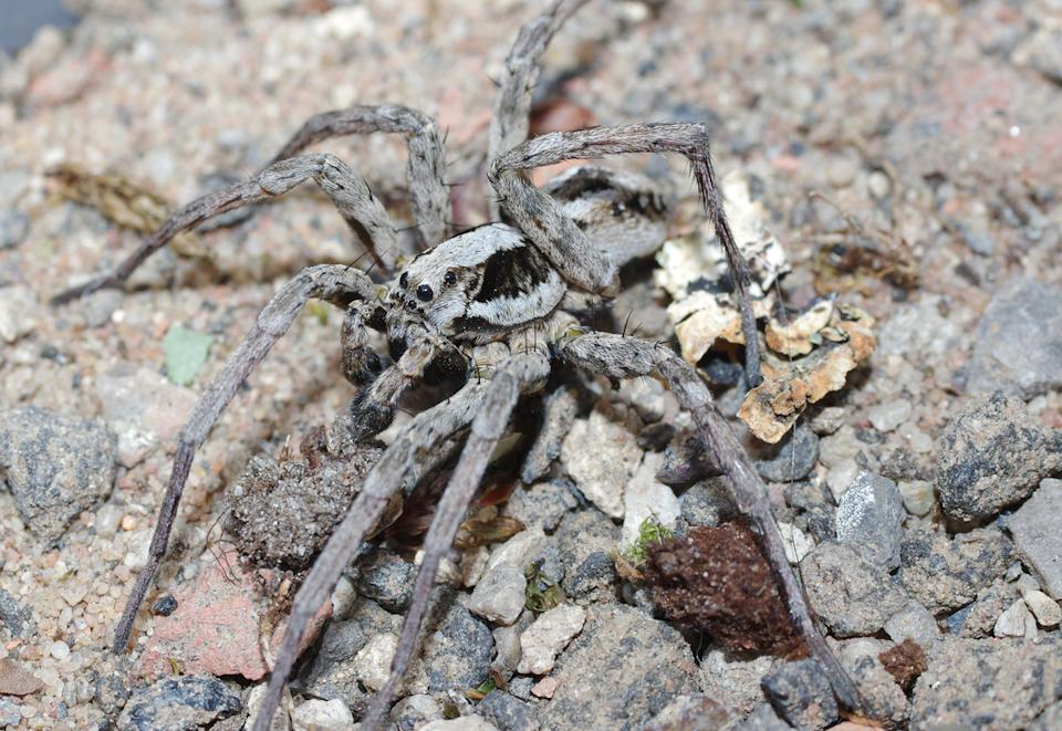 "Spider enthusiast Mike Waite of Surrey Wildlife Trust said, ""As soon as my torch fell on it I knew what it was. I was elated. It's a gorgeous spider, if you're into that kind of thing."" (Surrey Wildlife Trust)"