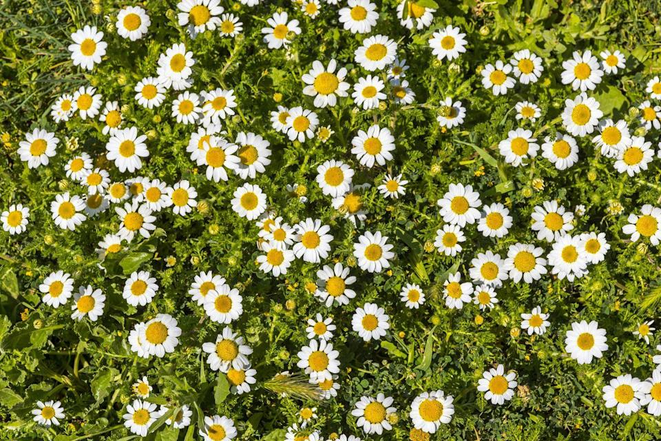 "<p>Choose from an annual or perennial variety, and watch charming daisy-like flowers bloom throughout this bushy plant. It likes full sun, and requires regular trimmings to keep it from taking over the yard. Fun bonus: The flowers, either fresh or dried, can be used in salads or steeped in teas.</p><p> <a class=""link rapid-noclick-resp"" href=""https://go.redirectingat.com?id=74968X1596630&url=https%3A%2F%2Fwww.walmart.com%2Fip%2FRoman-Chamomile-Herb-Chamaemelum-nobile-Herb-Lawn-Substitue-3-Pot%2F583630312&sref=https%3A%2F%2Fwww.goodhousekeeping.com%2Fhome%2Fgardening%2Fg32440508%2Fbest-ground-cover-plants%2F"" rel=""nofollow noopener"" target=""_blank"" data-ylk=""slk:SHOP NOW"">SHOP NOW</a></p>"