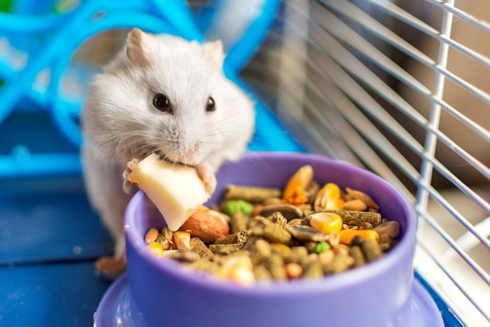 A hamster eating cheese in a cage