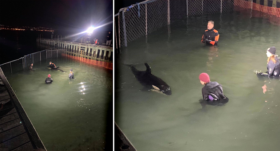Carers are looking after the orca around the clock. Source: Michael Coleman / Whale-Rescue.org