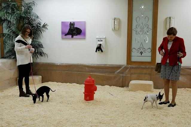 <p>Dogs look for a place to go to the bathroom in a dog spa at the Hotel Pennsylvania ahead of the 142nd Westminster Kennel Club Dog Show in midtown Manhattan, New York City, Feb. 9, 2018. (Photo: Shannon Stapleton/Reuters) </p>