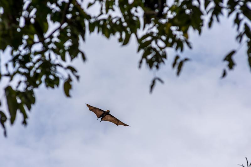 A flying fox aka fruit bat in flight during the day time with over cast grey sky back ground and tree tops.