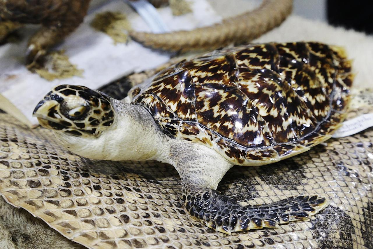 A preserved hawksbill sea turtle is displayed at a news conference at JFK international Airport, Monday, June 16, 2014 in New York to highlight efforts by U.S. Customs and Border Protection and U.S. Fish and Wildlife to deter illegal trafficking in wildlife. The animals displayed at the news conference were seized from baggage and cargo arriving at the airport. The government is cracking down on the illegal trafficking, saying some of its import-export activity may be linked to terrorists. (AP Photo/Mark Lennihan)